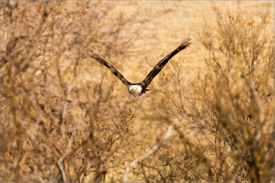 Bald Eagles in the Crowsnest - © Christopher Martin-6203