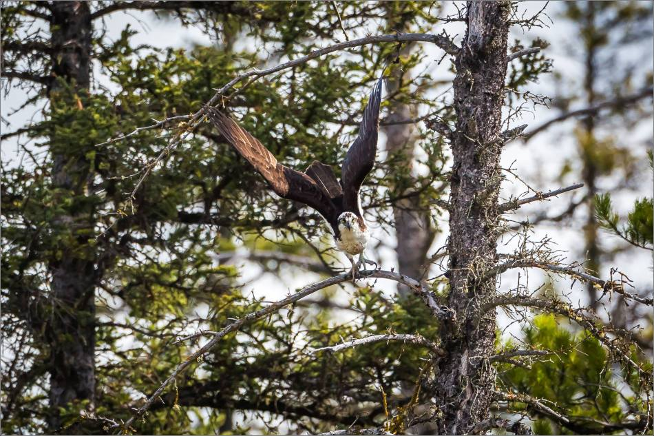 Banff Osprey - © Christopher Martin-2652