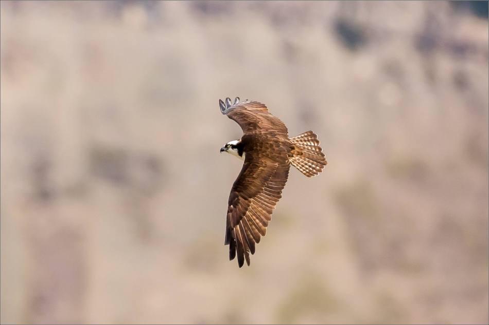 Banff Osprey - © Christopher Martin-2884