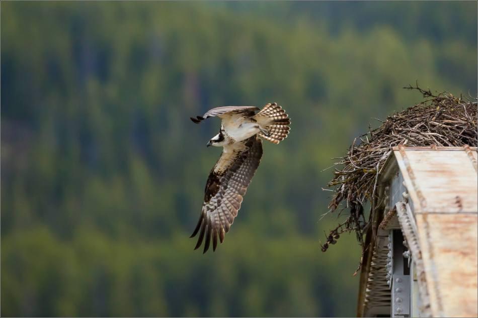 Banff Osprey - © Christopher Martin-3004