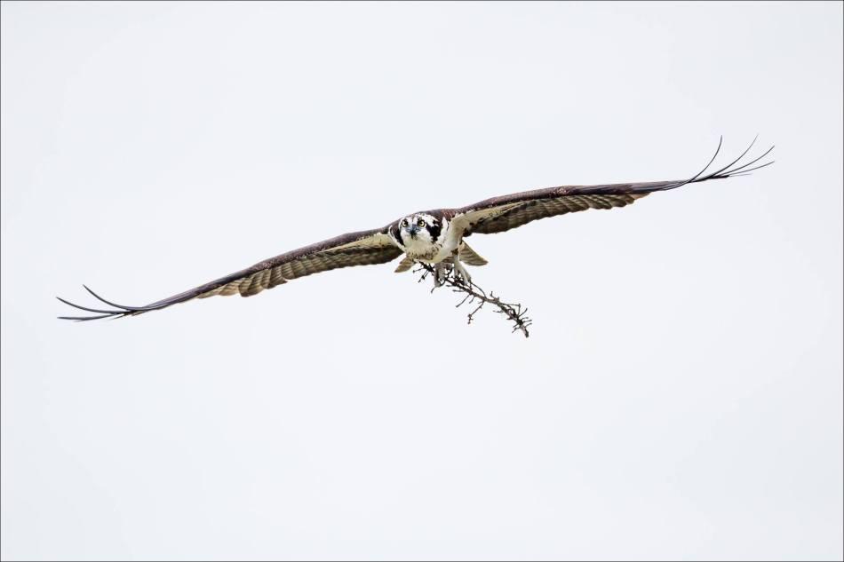 Banff Osprey - © Christopher Martin-3031