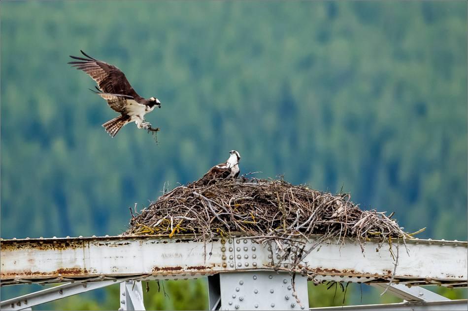 Banff Osprey - © Christopher Martin-3092