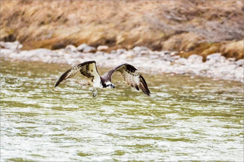 Banff Osprey - © Christopher Martin-3243