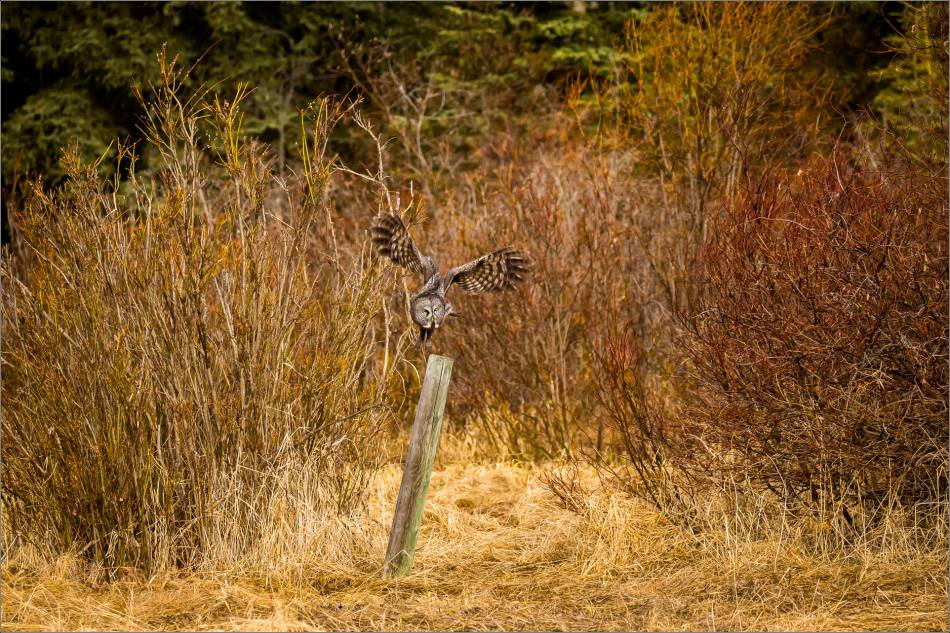 Bragg Creek Great Gray Owl - © Christopher Martin-8134