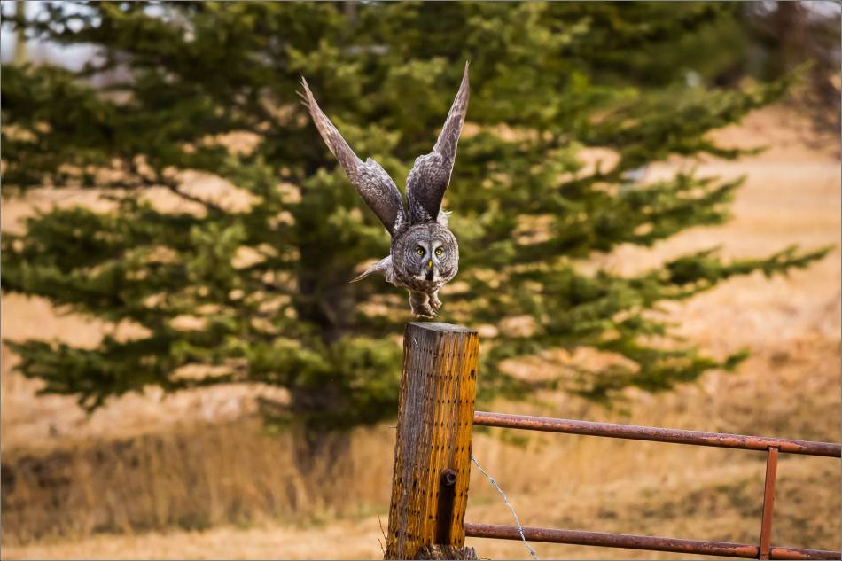 Bragg Creek Great Gray Owl - © Christopher Martin-8189