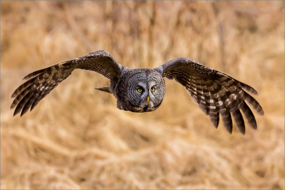 Bragg Creek Great Gray Owl - © Christopher Martin-8197