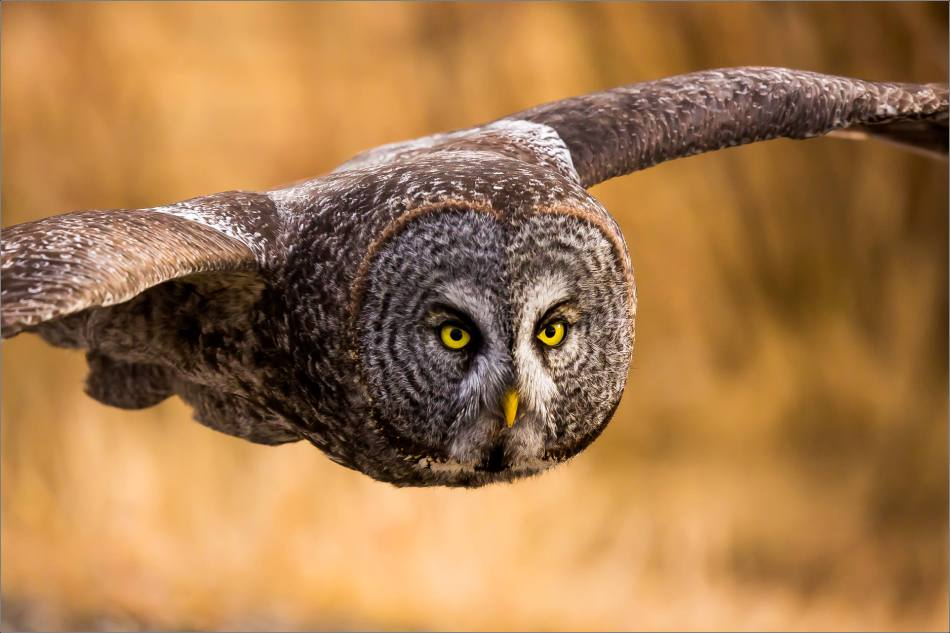 Bragg Creek Great Gray Owl - © Christopher Martin-8200