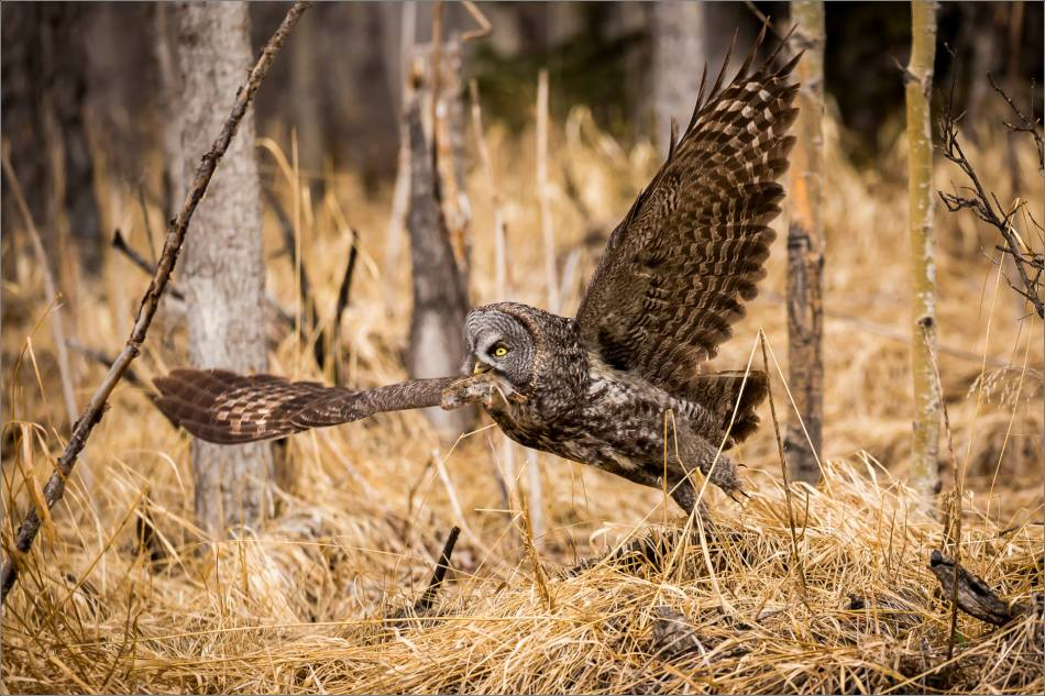 Easter Great Gray Owls - © Christopher Martin-7379