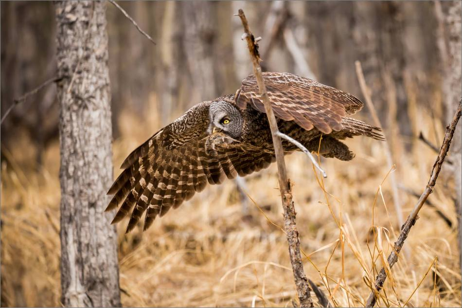 Easter Great Gray Owls - © Christopher Martin-7381
