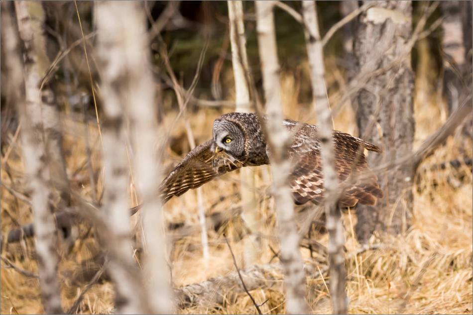 Easter Great Gray Owls - © Christopher Martin-7383