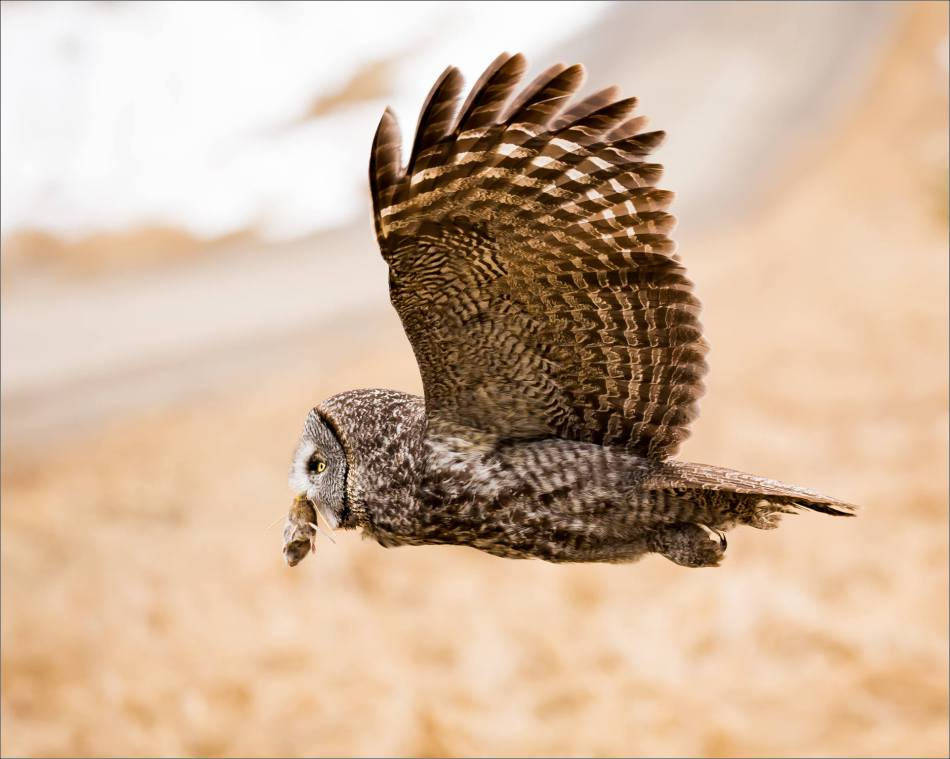 Easter Great Gray Owls - © Christopher Martin-7387