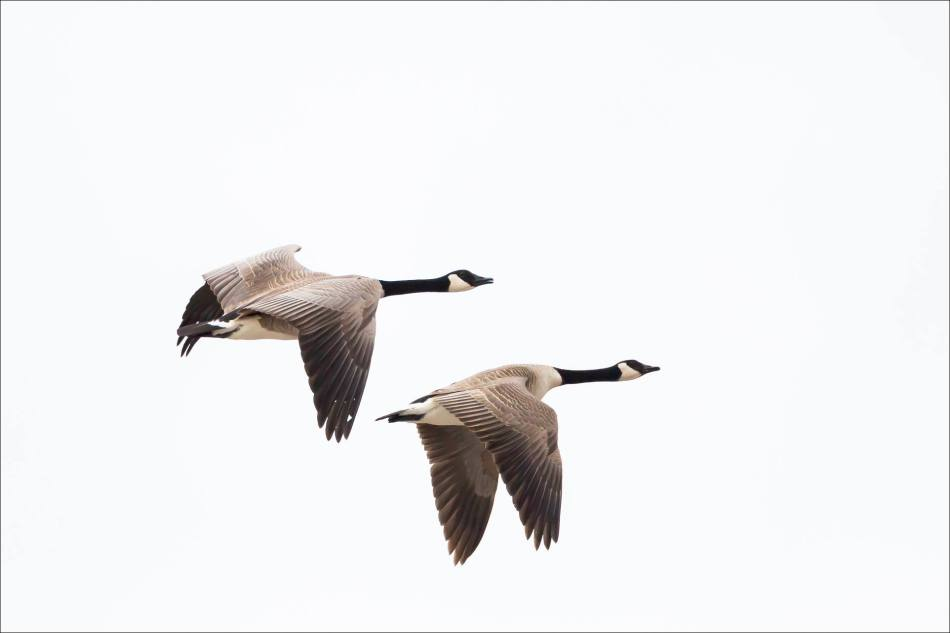 Geese in flight - © Christopher Martin-7189