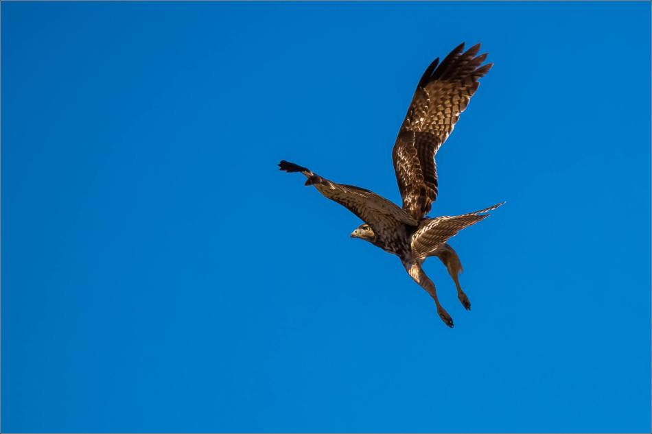 Juvenile red-tailed hawk in flight - © Christopher Martin-7452-2