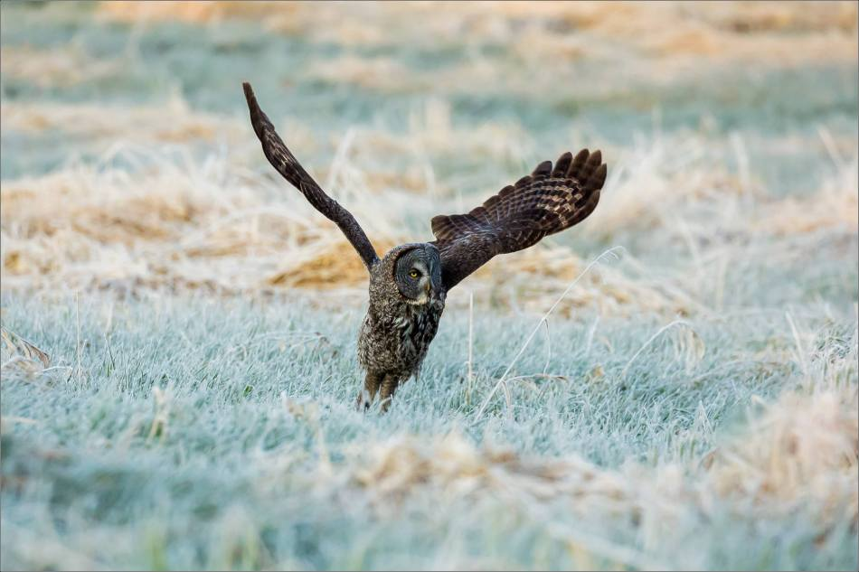 Great Gray Owl in the frosty meadow - © Christopher Martin-6646