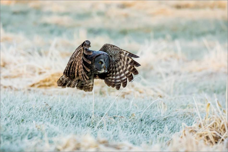 Great Gray Owl in the frosty meadow - © Christopher Martin-6647