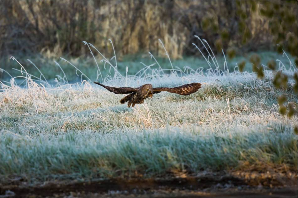 Great Gray Owl in the frosty meadow - © Christopher Martin-6692