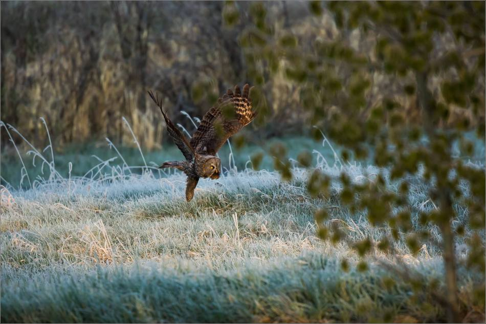 Great Gray Owl in the frosty meadow - © Christopher Martin-6695-2