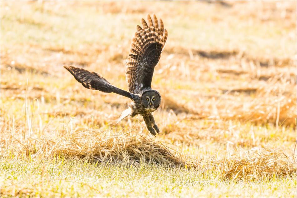 Great gray owl's meadow flight - © Christopher Martin-7050