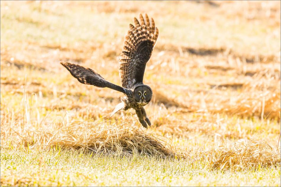 Great gray owl's meadow flight - © Christopher Martin-7050