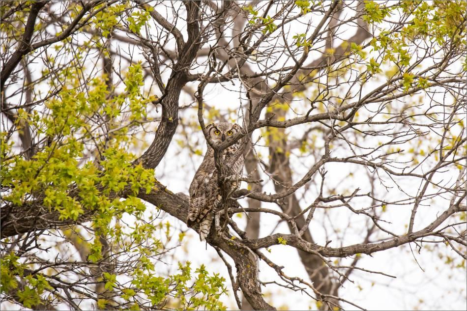 Great horned owl near High River - © Christopher Martin-3464