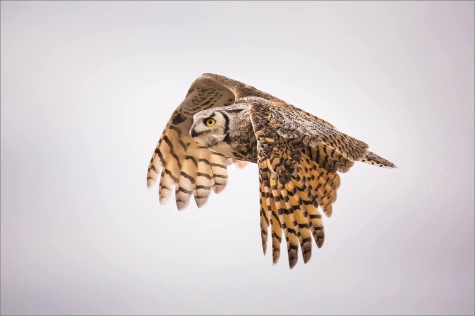 Great horned owl near High River - © Christopher Martin-3517