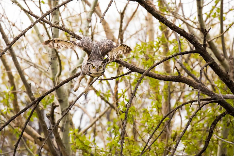 Great horned owl near High River - © Christopher Martin-3540