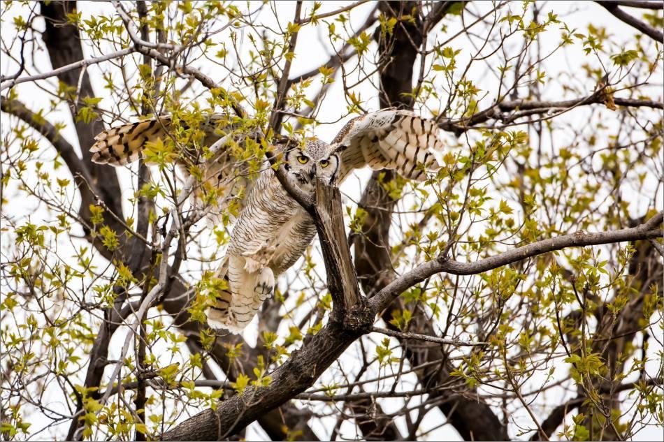 Great horned owl near High River - © Christopher Martin-3802-2