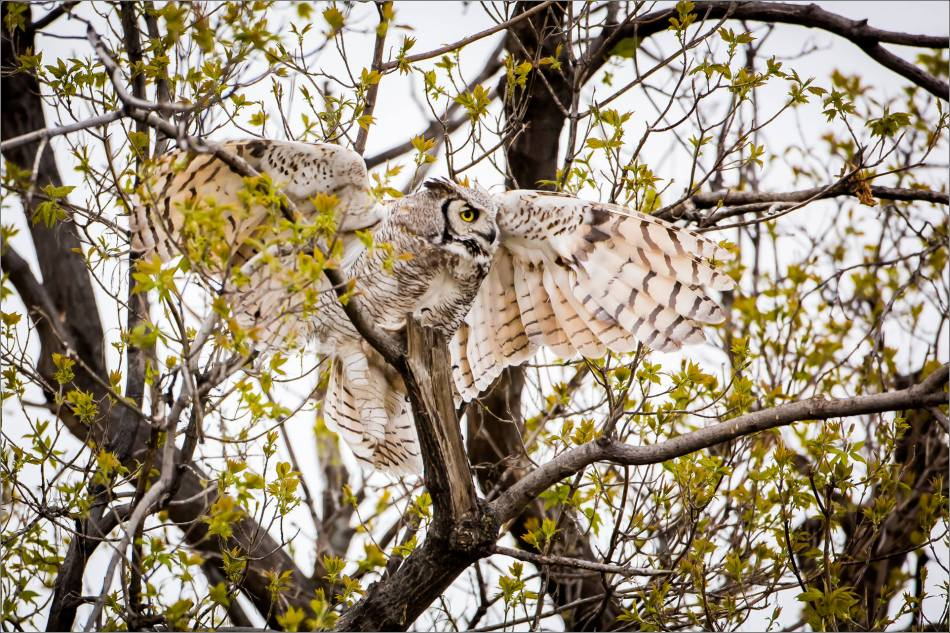 Great horned owl near High River - © Christopher Martin-3803