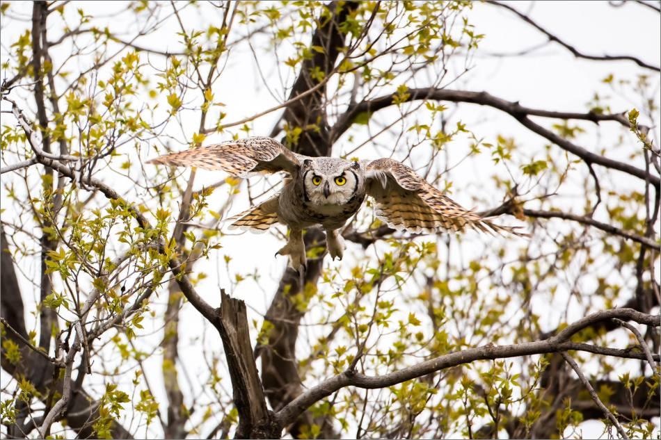 Great horned owl near High River - © Christopher Martin-3809-3