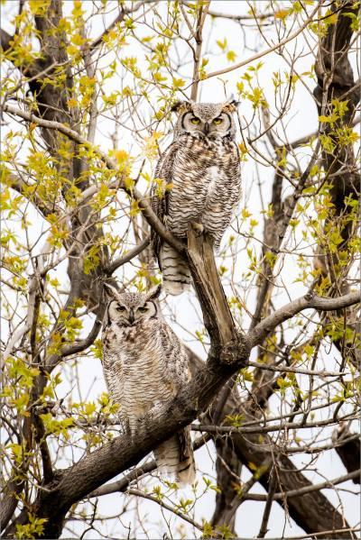 Great horned owls near High River - © Christopher Martin-3922