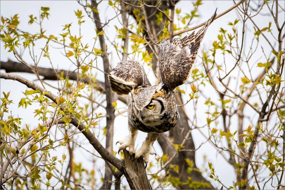 Great horned owl near High River - © Christopher Martin-3980
