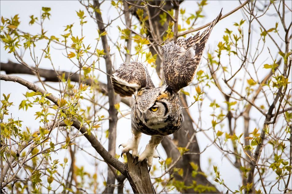 Great horned owl near High River - © Christopher Martin-3980