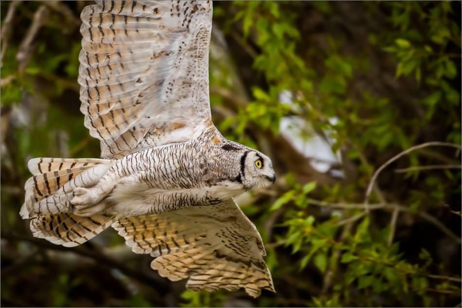 High River Great Horned Owl's flyby - © Christopher Martin-3721