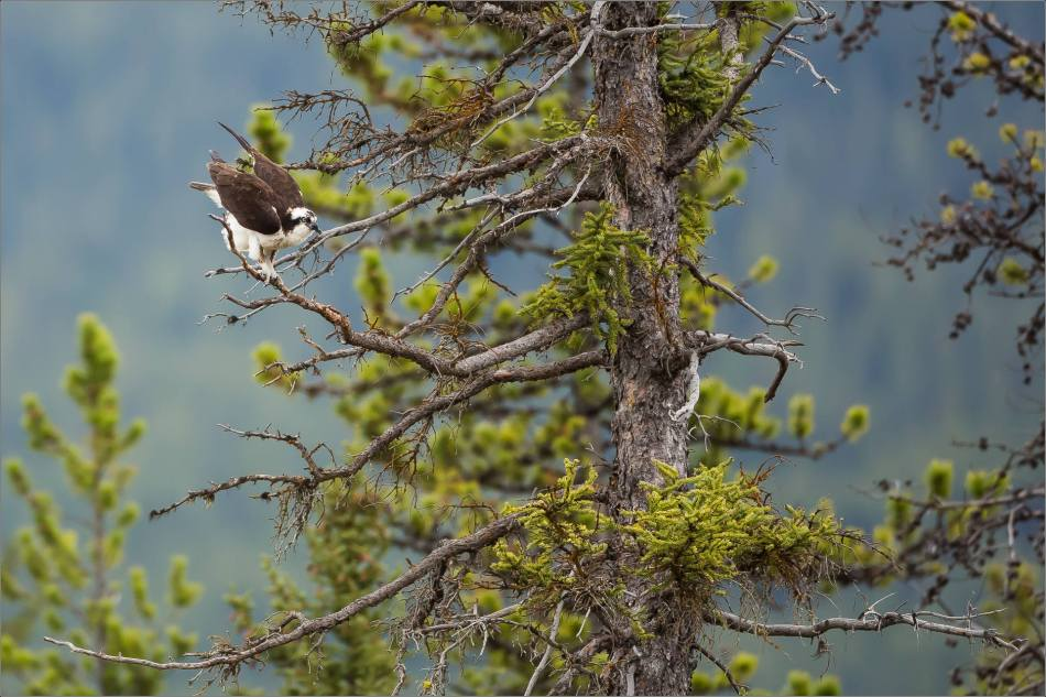 Osprey on the Bow River - © Christopher Martin-3207
