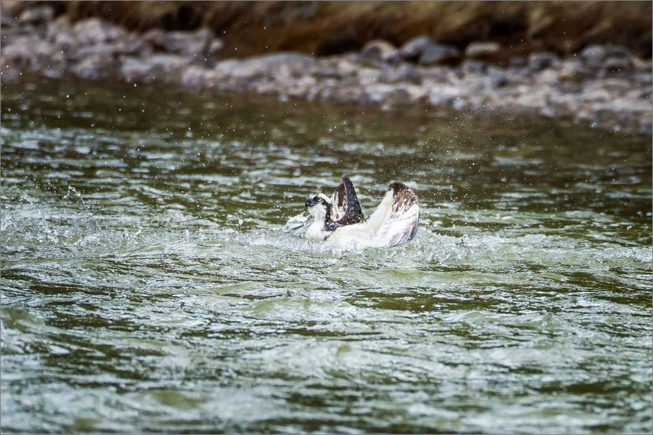 Osprey in the Bow River - © Christopher Martin-3227
