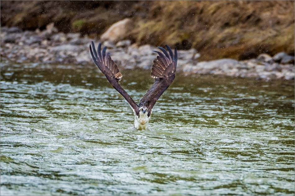 Osprey in the Bow River - © Christopher Martin-3231-2