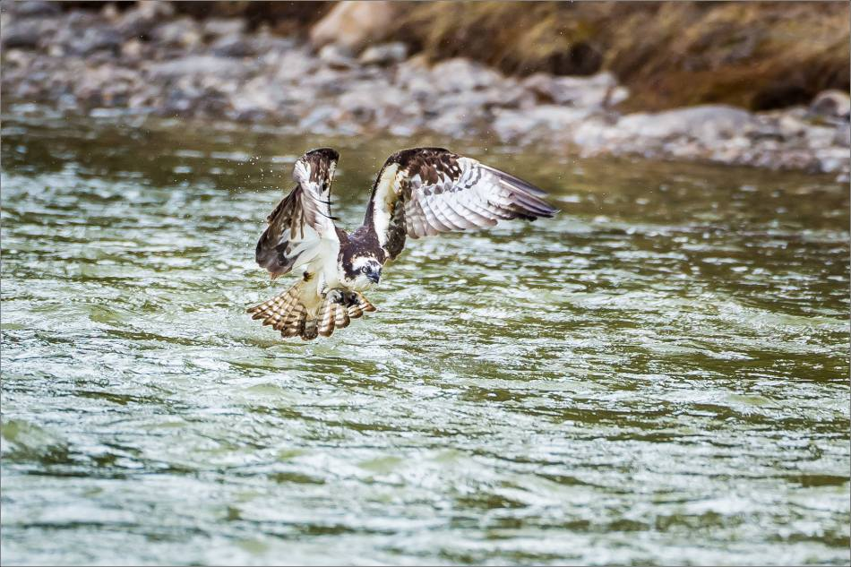 Osprey in the Bow River - © Christopher Martin-3235