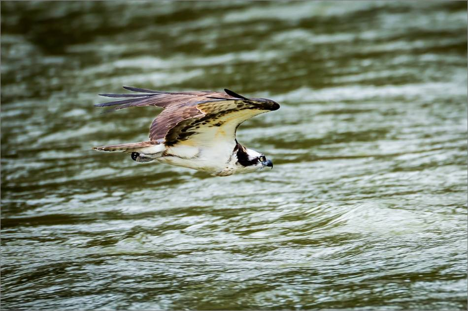 Osprey in the Bow River - © Christopher Martin-3267