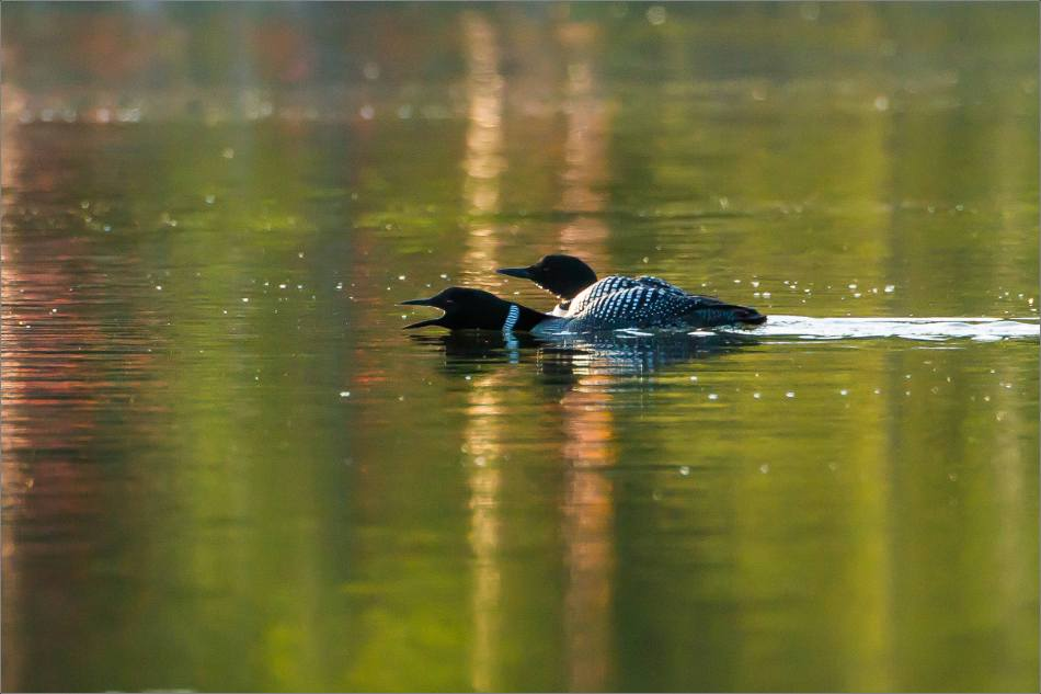 Wild Rose's Common Loons - © Christopher Martin-4510