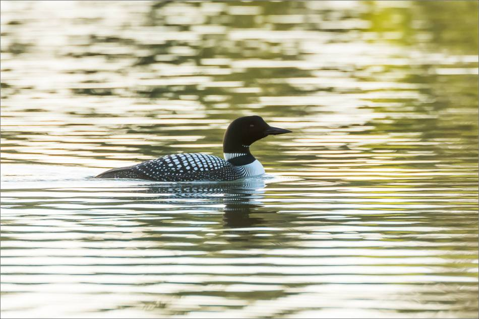 Wild Rose's Common Loons - © Christopher Martin-4587