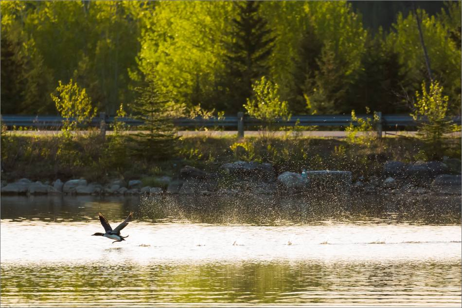 Wild Rose's Common Loons - © Christopher Martin-4625
