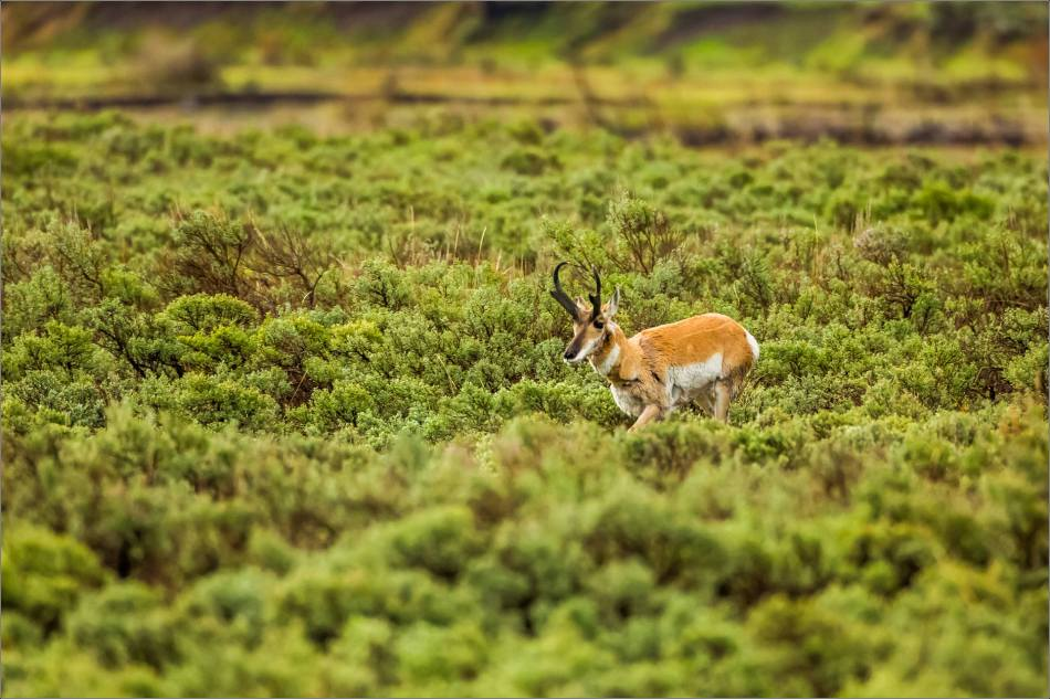 Yellowstone Pronghorn Shake - © Christopher Martin-8421