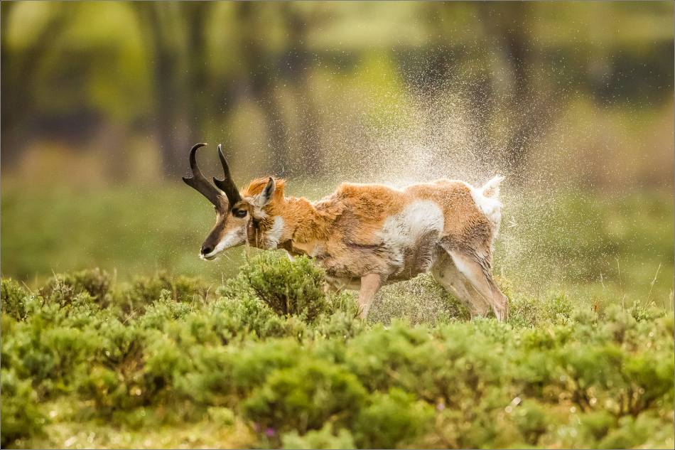 Yellowstone Pronghorn Shake - © Christopher Martin-8435-2