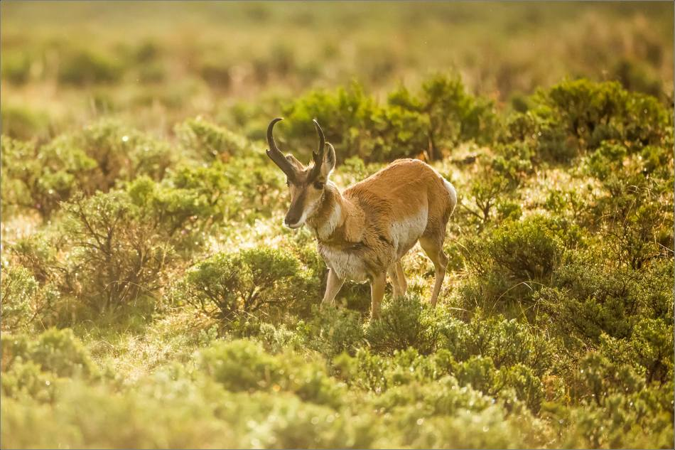 Yellowstone Pronghorn Shake - © Christopher Martin-8457