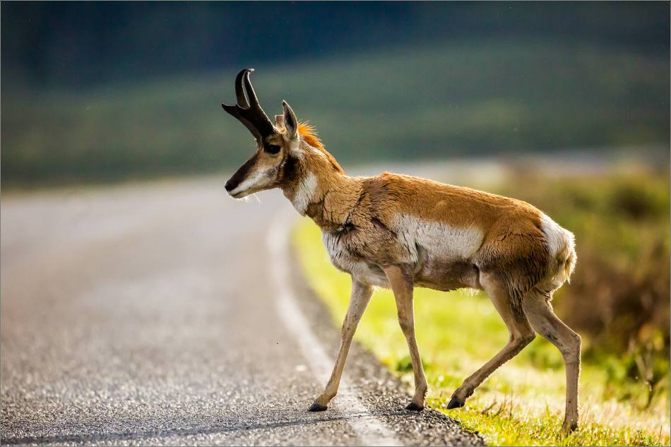 Yellowstone Pronghorn Shake - © Christopher Martin-8466