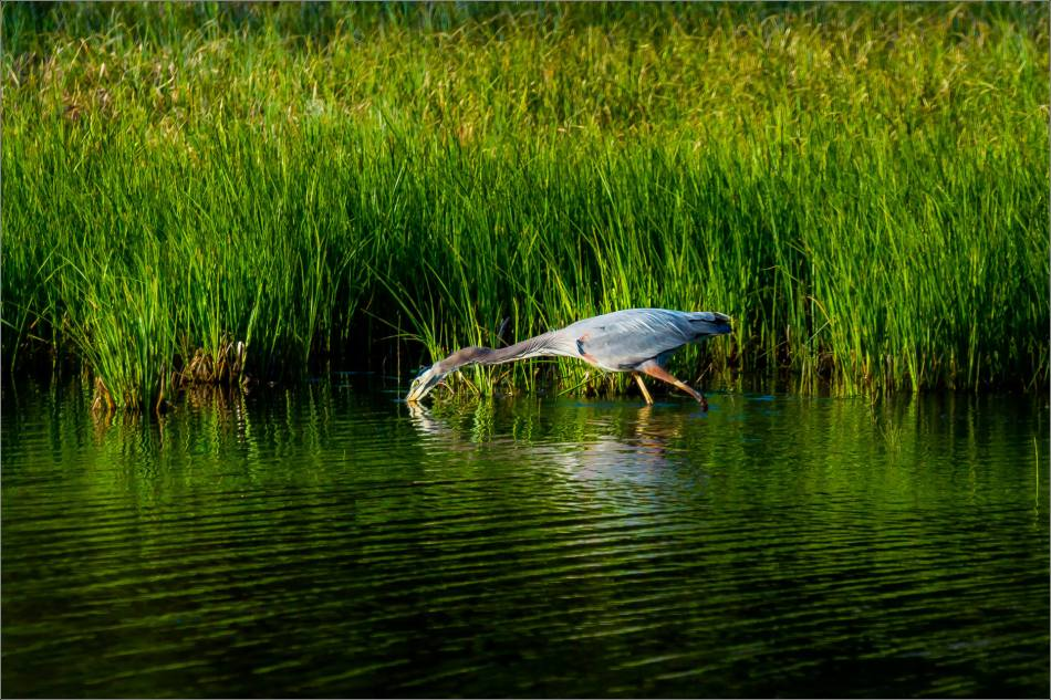 Banff Great blue heron - © Christopher Martin-1744