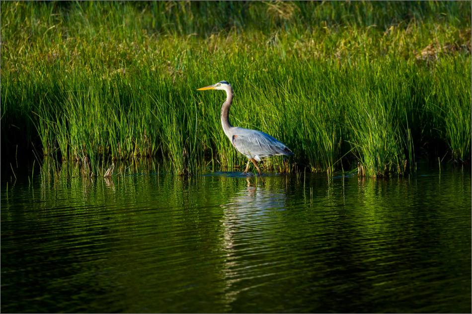 Banff Great blue heron - © Christopher Martin-1747