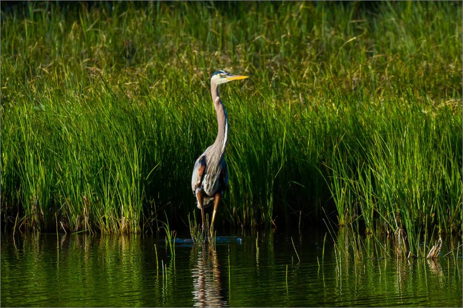 Banff Great blue heron - © Christopher Martin-1754