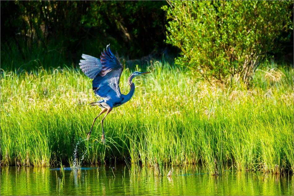 Banff Great blue heron - © Christopher Martin-1759
