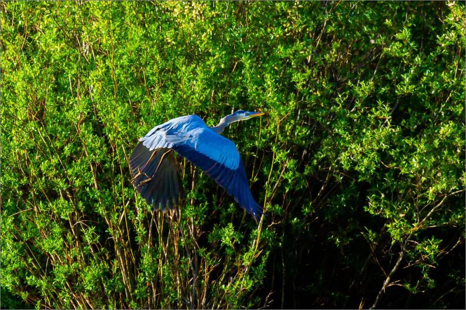 Banff Great blue heron - © Christopher Martin-1767